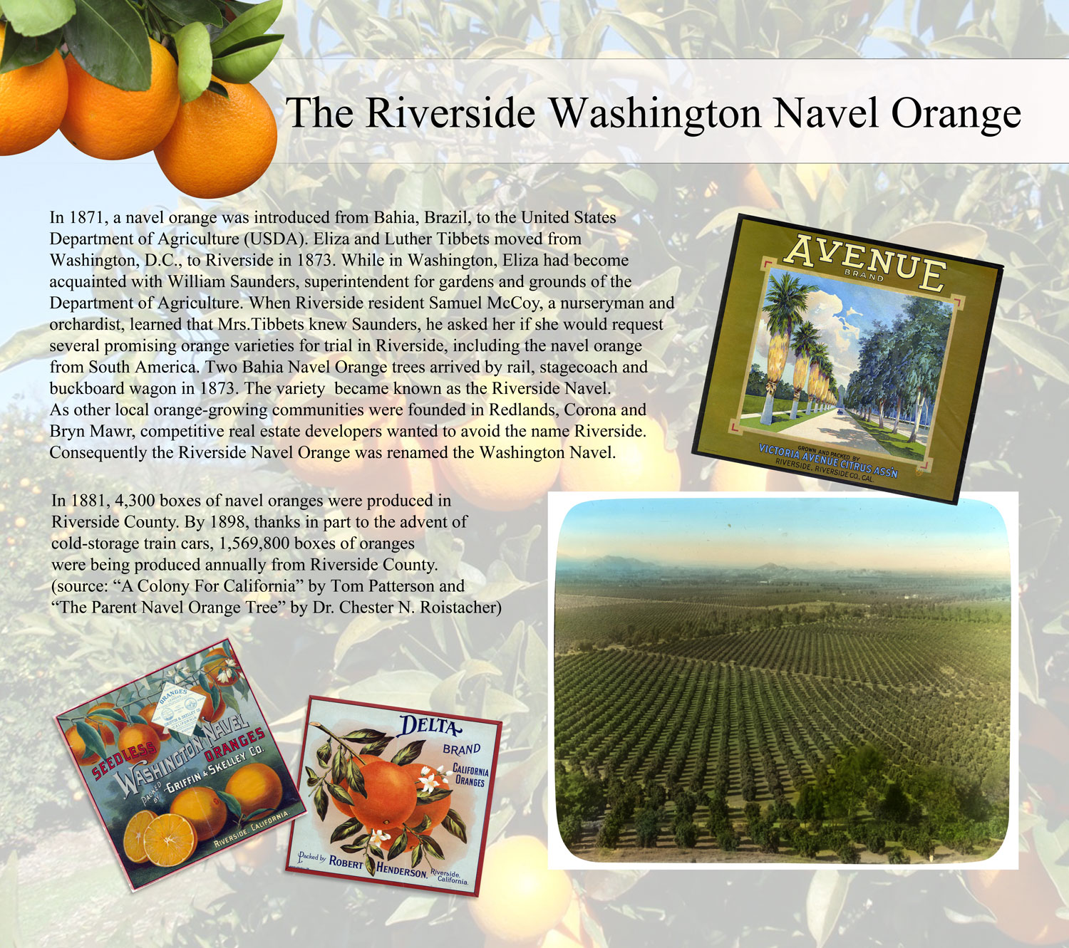The Riverside Washington Navel Oranges