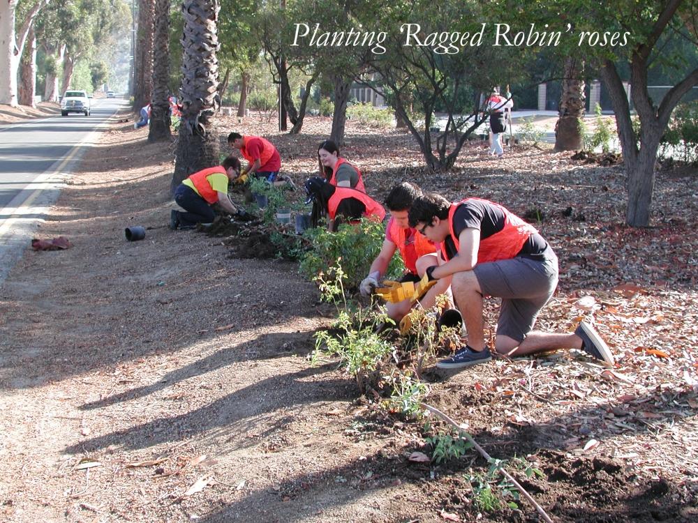 planting ragged robin roses