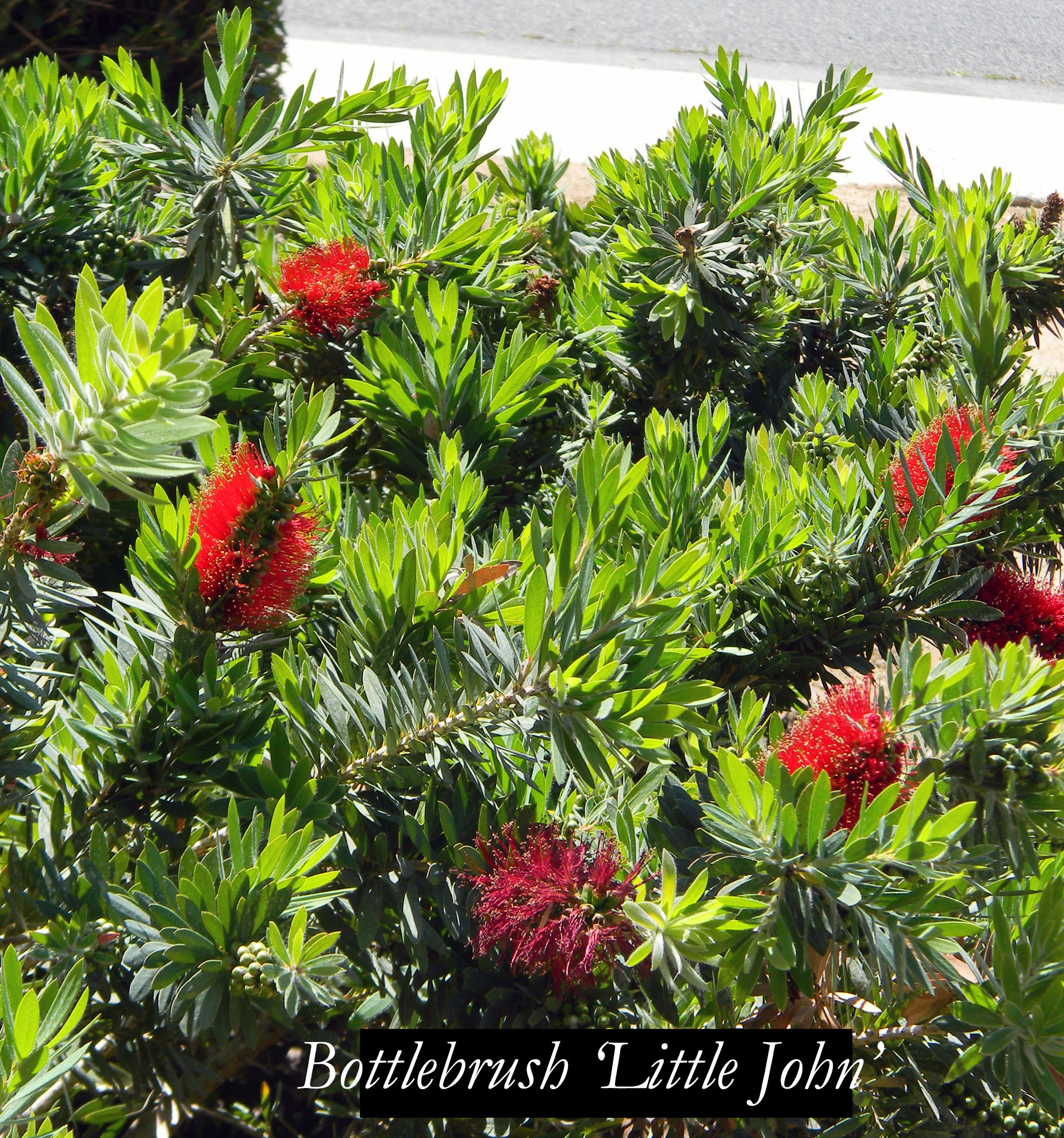 bottlebrush little john